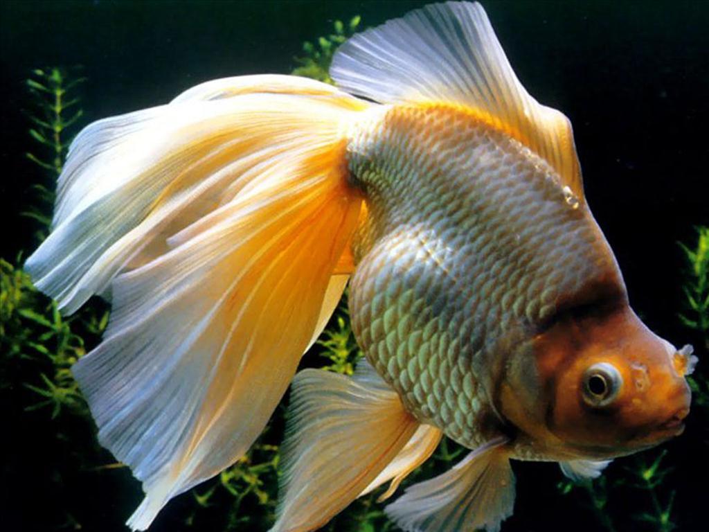 mệnh thổ nên nuôi cá cảnh không