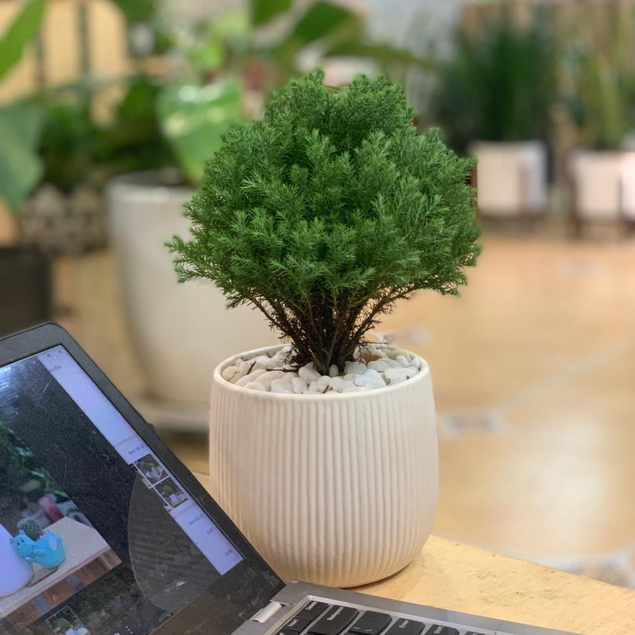 Tuổi sửu hợp với cây gì? trồng cây gì phong thủy tốt cho tuổi sửu
